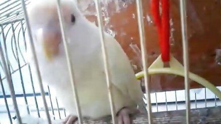 牡丹鹦鹉视频
