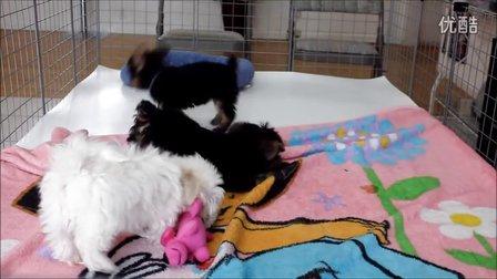 小型茶杯犬的饲养玩耍视频