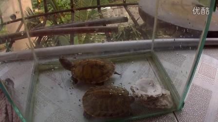 我家的巴西红耳龟
