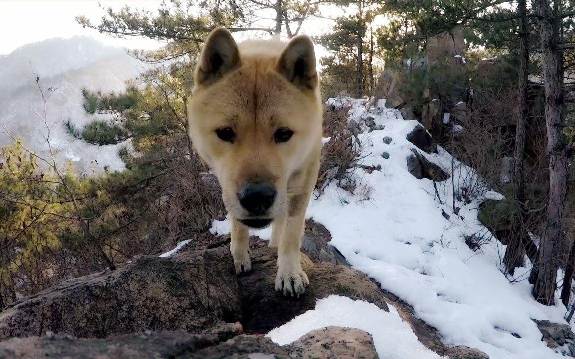 【中华田园犬】雪山探险,探秘匪寨遗迹,遇神秘猛兽足迹