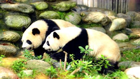 永远没法回到祖国!这两只熊猫不再属于中国,再也要不回来了