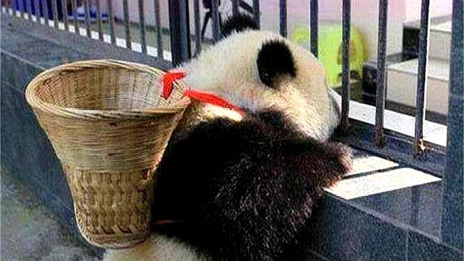 永远没法回到祖国?这两只大熊猫不再属于中国,再也要不回来了!