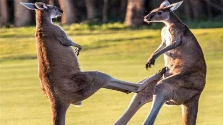 澳大利亚太坏了, 居然用袋鼠开发壮阳药!