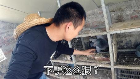 母鸽不见的第三天,小伙把幼鸽放到元宝窝,这一幕太扎心了!