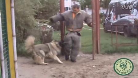 这才是真正的护卫级高加索犬