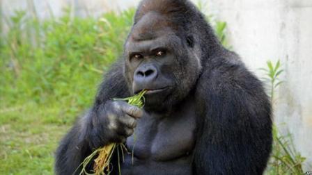不成人便成猩? 人类基因跟许多生物类似, 跟猩猩相似度达96%!