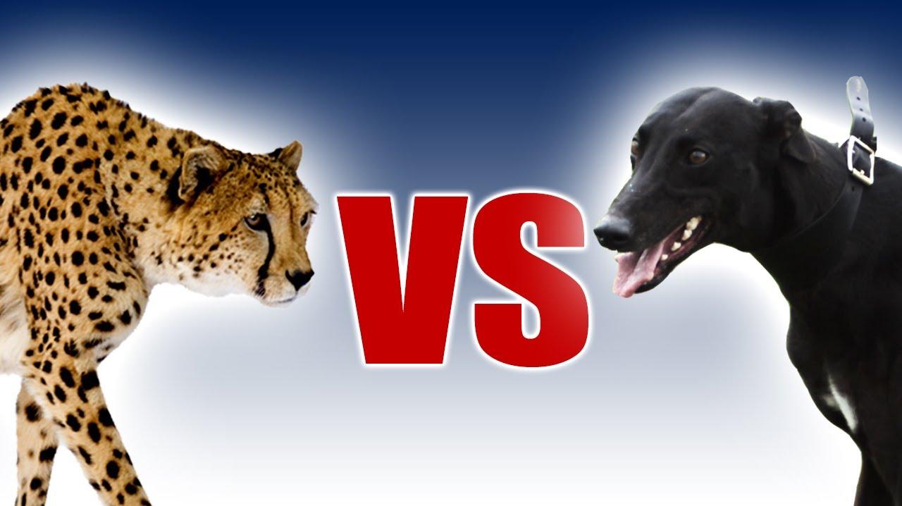 格力犬和猎豹谁更快?老外用慢镜头作比较,结果让人意外!