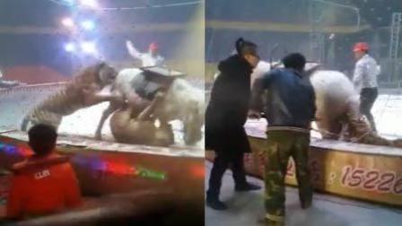 马戏团出意外 白马遭狮子老虎围攻