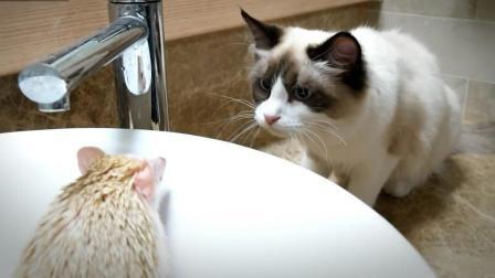 主人给刺猬洗澡, 家里的布偶猫好奇的打量着这个带刺的家伙
