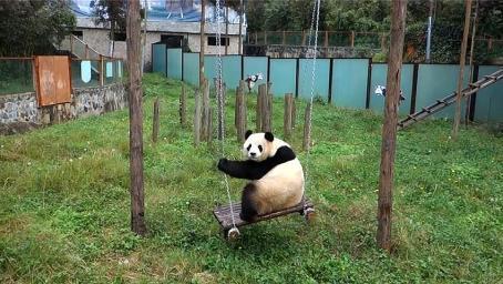 熊猫正在荡秋千,回头发现很多人在看它,刚想秀就翻车了!