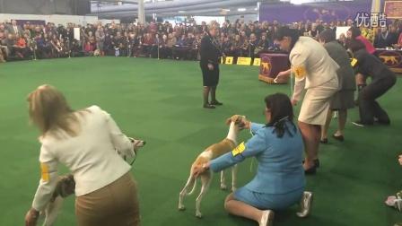 惠比特犬 BOB 西敏寺犬展 2015