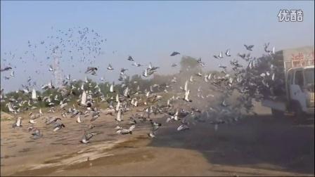 山西诚信是金赛鸽养殖中心8.27二十公里训放视频