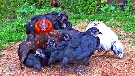 母鸡跟它的孩子们,数一数这是多少只崽?怎么跟鸡妈妈长的不一样