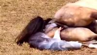 实拍母马生产全过程,母性的伟大