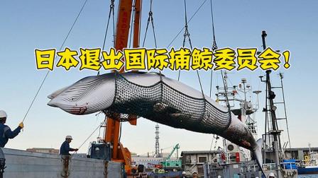 日本又作妖, 退出了国际捕鲸委员会, 海上屠杀又将开始?