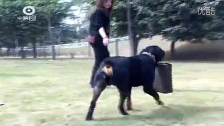 怎么教高加索 杜高犬打猎野猪视频