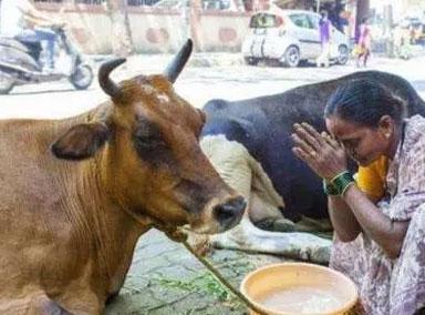 牛粪疗法抵御新冠病毒?
